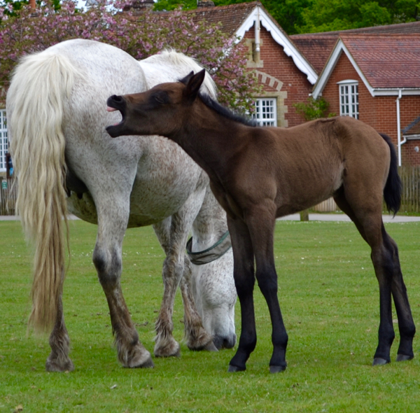 New Forest pony and her cheeky foal