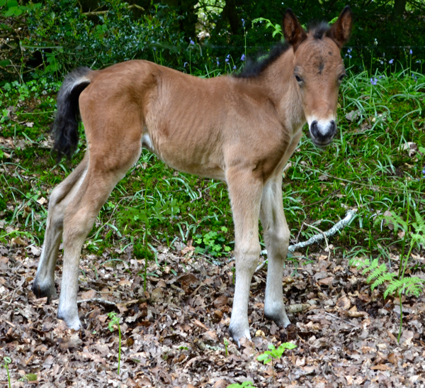 New Forest foal recently born on rather wobbly legs!
