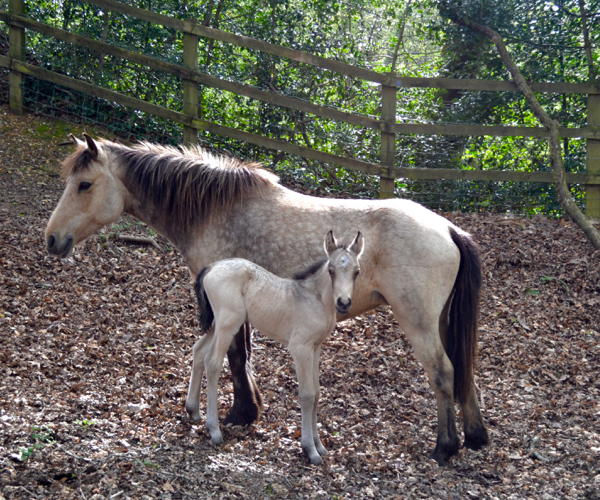 A New Forest foal enjoying some shelter in an oak glade