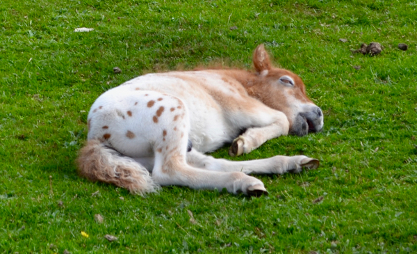 New Forest Shetland foal - sleeping soundly - did I hear a snore?