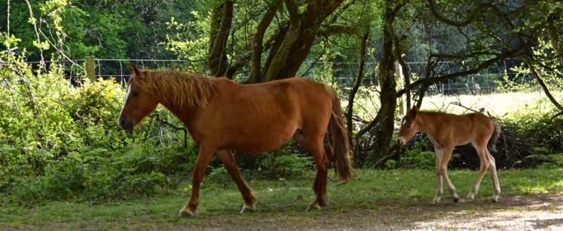 New Forest mares and foals are all over the New Forest - please take care on our roads.