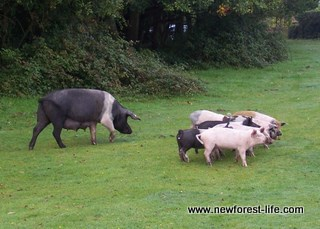 New Forest pig