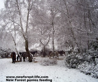 New Forest ponies being fed during the snows