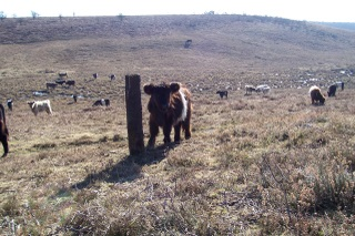 New Forest roaming cattle