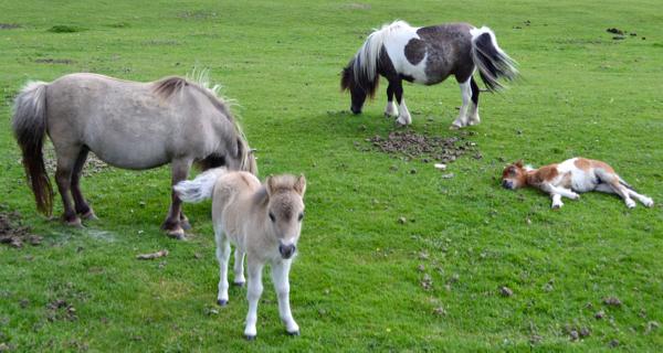 New Forest Shetland foals