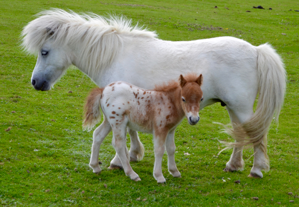 New Forest Shetland foal - standing up and looking adorable!