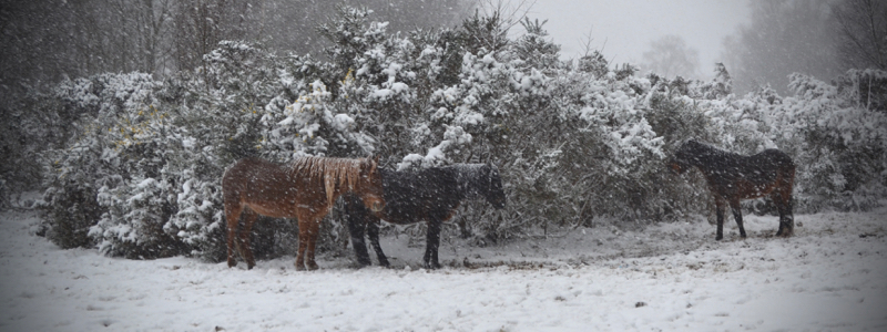 New Forest ponies sheltering from the snow