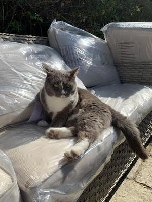 Spock the cat was lost in Lyndhurst on 1st July 2020. Is he in your shed or outhouse? Please search.
