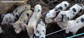 New Forest pigs at Tinkers Farm