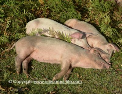 Happy sleeping pigs