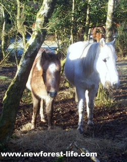 New Forest ponies eating winter feed