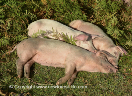 New Forest pigs sleeping in the sun.