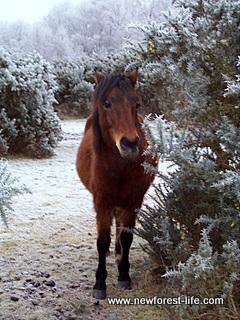 New Forest snow pony