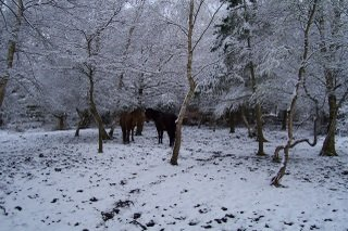 New Forest ponies in the snow 2008