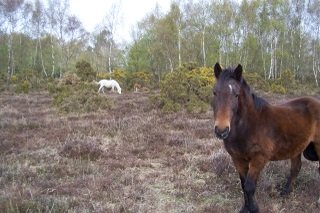 Old New Forest pony