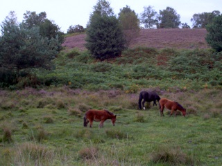 New Forest ponies in the mire