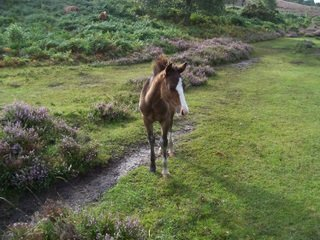 New Forest pony foal on heathery path.