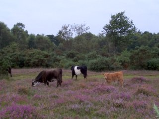 New Forest cows eating heather