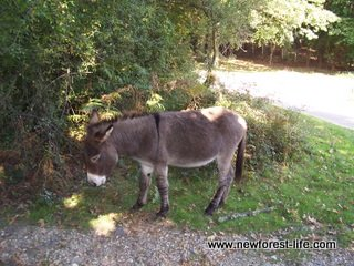 New Forest Donkeys at Ibsley