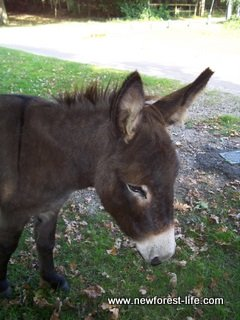 New Forest Donkey at Ibsley