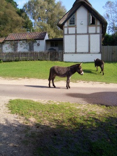 New Forest Donkey near Hyde