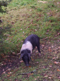 New Forest Piglet - I could put one of these out as well
