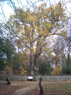 New Forest Knightwood Oak