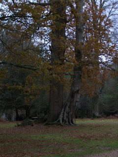 New Forest Knightwood Oak - Two Trees