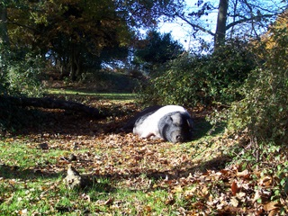 New Forest Mama Pig laying in the sun
