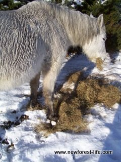 New Forest pony with snowballs on her feet - such a harsh winter