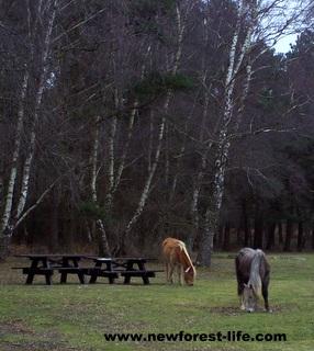 New Forest Roundhills pony picnic area