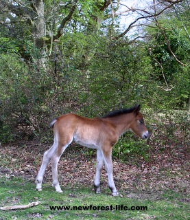 New Forest foal starting out on life