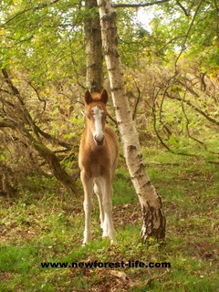 New Forest Foal - Star