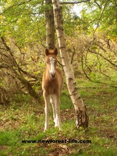 New Forest Foal Stars