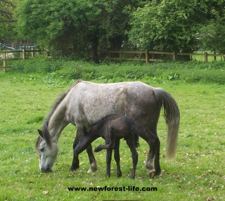 New Forest foal and its first scratch