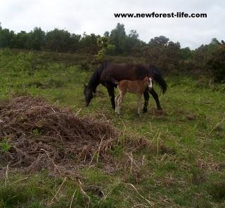 New Forest Mum & Foal on Purlieu