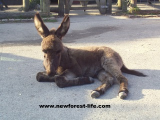 New Forest Donkey outside a pub