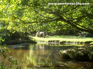 New Forest Oberwater pony and stream