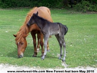 New Forest foal 1