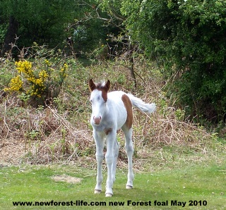 New Forest white foal 2