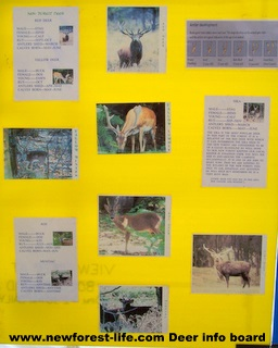 New Forest Ocknell Deer Info