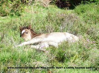 New Forest foal that found a bed for the day