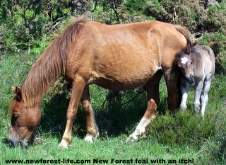 New Forest peeping foal