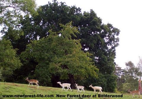 New Forest deer at Bolderwood