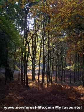 New Forest Autumn scene