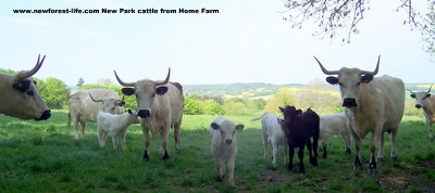 New Forest White Park Cattle