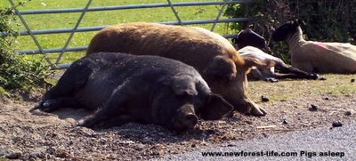 New Forest pigs enjoying the summer sun