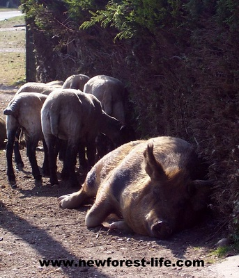 New Forest pig and sheep sleeping soundly