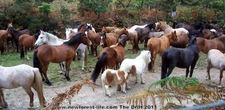 New Forest Drift the New Forest ponies health check