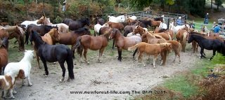 New Forest ponies at The Drift, the yearly round up health check.